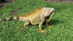 Amazing Facts of Faith — Iguana