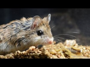 Amazing Facts of Faith — Grasshopper Mouse