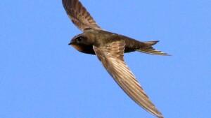 Amazing Facts of Faith — Common Swift